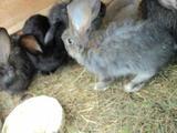 """Продам кроликов """"фландер"""" (бельгийский великан)"""
